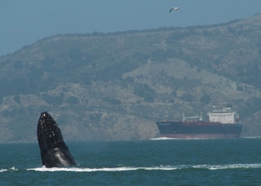 Humpback in SF Bay, 2017